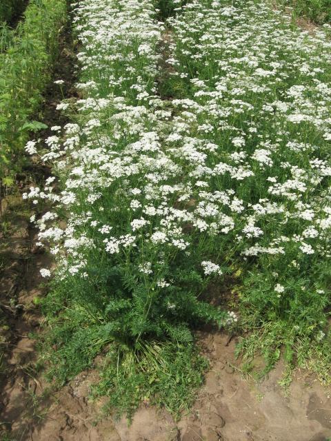 Анис обыкновенный - Pimpinella anisum L.