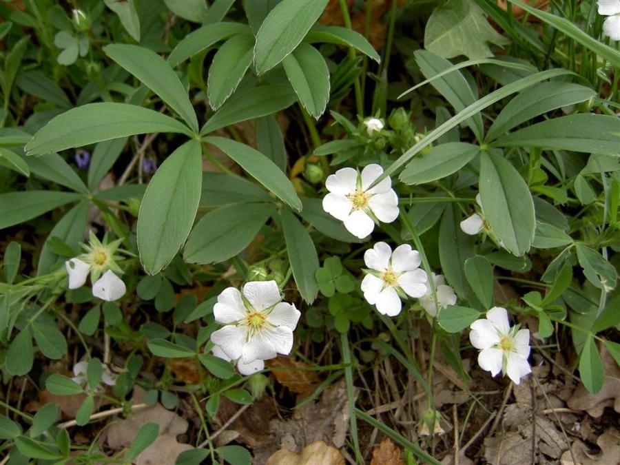 Лапчатка белая (Potentilla alba L.)