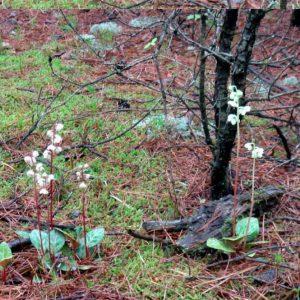 Грушанка японская (Pyrola japonica)