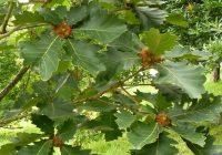 Дуб зубчатый (Quercus dentata)