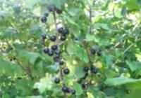 Смородина черная (Ribes nigrum)