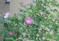 Шиповник майский (Rosa I.)