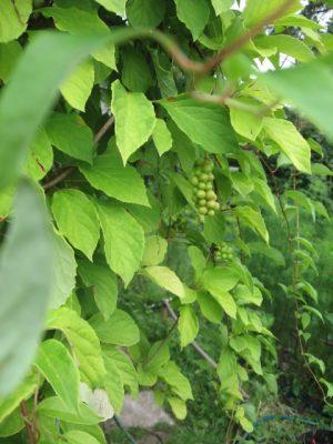 Лимонник китайский Schizandra chinensis