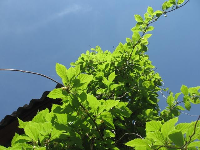 Лимонник китайский (Schizandra chinensis)