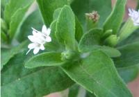 Стевия медовая (Stevia rebaudiana В.)