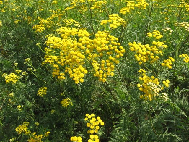 Пижма обыкновенная - Tanacetum vulgare