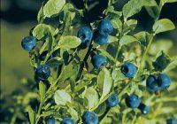 Черника обыкновенная (Vaccinium myrtillus L.)