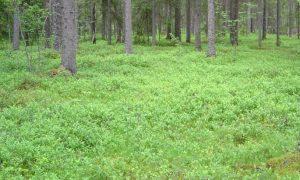 Черника в лесу