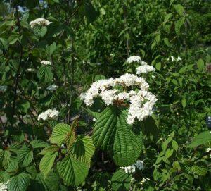 Калина вильчатая (Viburnum furcatum) цветок