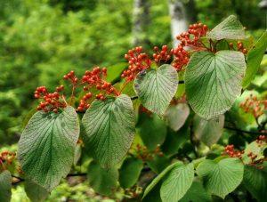 Калина вильчатая (Viburnum furcatum)