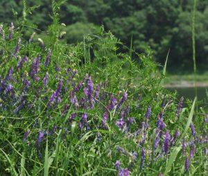 Горошек приятный (Vicia amoena)