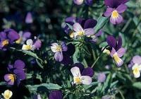 Фиалка трехцветная (Viola tricolor L.)