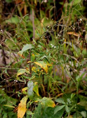 Резуха повислая (Arabis pendula)