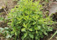 Полынь японская (Artemisia japonica)