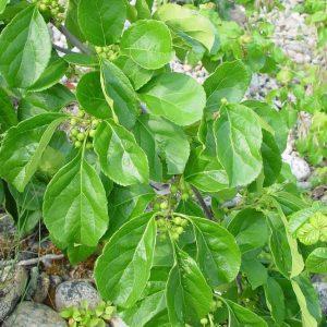 Древогубец круглолистный (Celastrus orbiculatus)