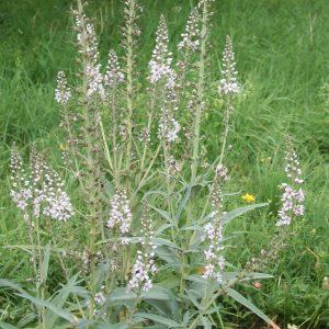 Вербейник даурский (Lysimachia ephemerum)