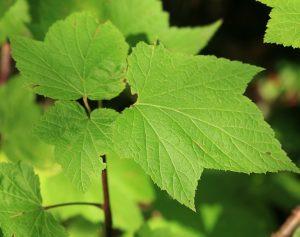 Смородина широколистная (Ribes latifolium)