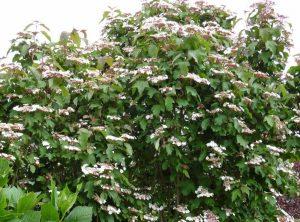 Калина Саржента (Viburnum Sargentii)
