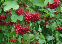 Калина Саржента (Viburnum Sargentii) плоды